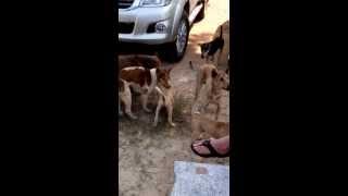 Голодные собаки Паттайи