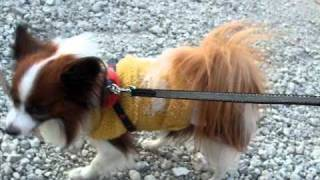 散歩で棒を見つけてテンションの上がる犬(パピヨン)』から、さらに強...