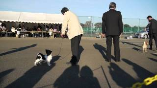 ナナコが東京城南全犬種クラブ展にてパピークラスに出陳され、パピーリ...