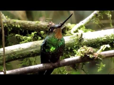 Colibrí del Sol - Coeligena orina