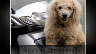 Пудель Средние породы собак