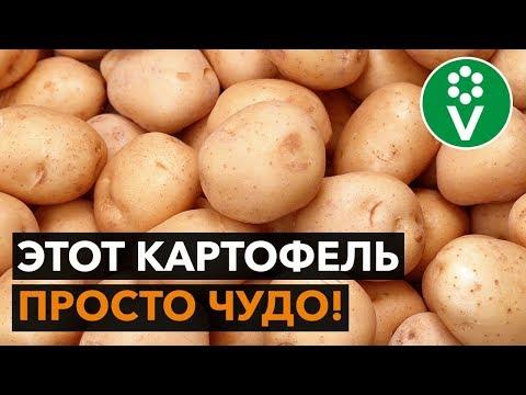 НАХОДКА! Семенной картофель экстра-класса за копейки!