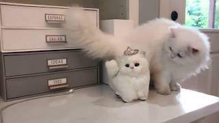 fat, fluffy and funny cats