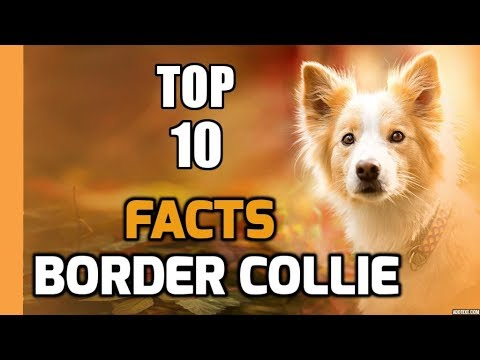 Top 10 facts about Border Collie (Dog Breed Information)
