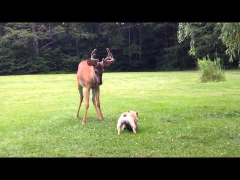 Dog And Baby Deer Play In The Yard