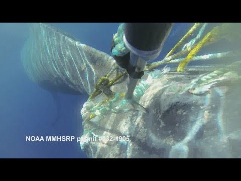 Humpback whale successfully freed from entangled gear