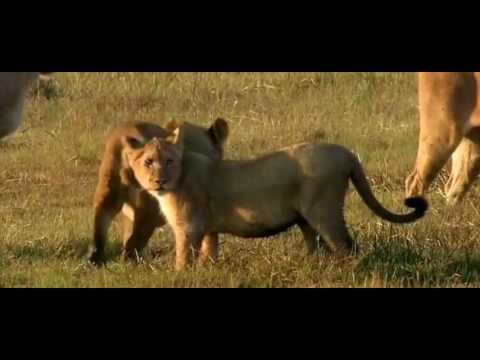 Rhodesian Ridgeback Vs Lion