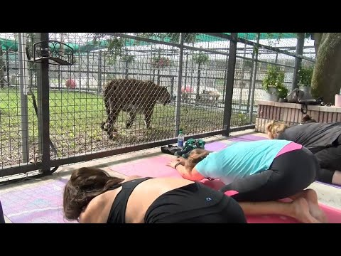 Otis - Tiger Yoga New Trend In Florida