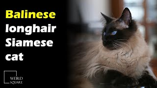 The Balinese cat was first registered in the USA in the 1920s as a longhair Siamese cat