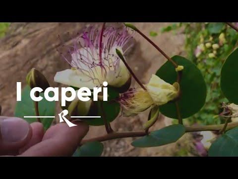 I CAPPERI - What is a caper - Nino Caravaglio