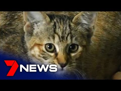 RSPCA Want Stricter Council Laws To Deal With SA's Stray Cat Crisis | 7NEWS