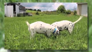 Dalmation Puppies | Dipper-dots