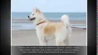 Средние породы собак АКИТА ИНУ