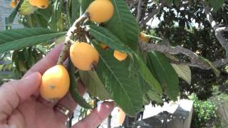 """Loquat Eriobotrya Japonica """"japanese Plum"""" In Downtown Austin Bloom Late March - Early April"""