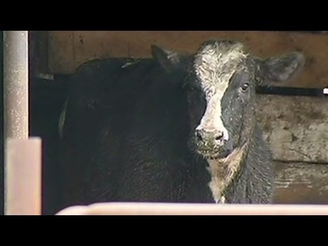 Slaughterhouse accused of selling cancerous meat