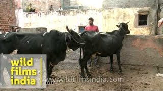 Bull has a rendezvous with a cow - of veterinary interest