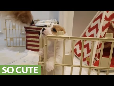 Jack Russell puppy's epic escape from enclosure