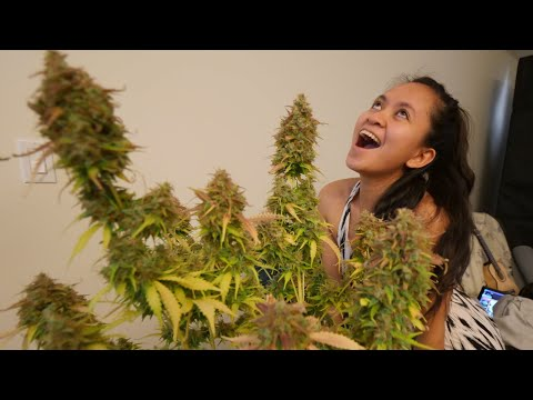 HOW TO GROW BIG THICK BUDS TO KEEP YOUR WIFE HAPPY – AUTOFLOWER HARVEST STEPWELL SOIL GROW