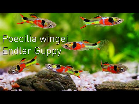 Poecilia wingei der ENDLER GUPPY | Nano Fisch Portrait