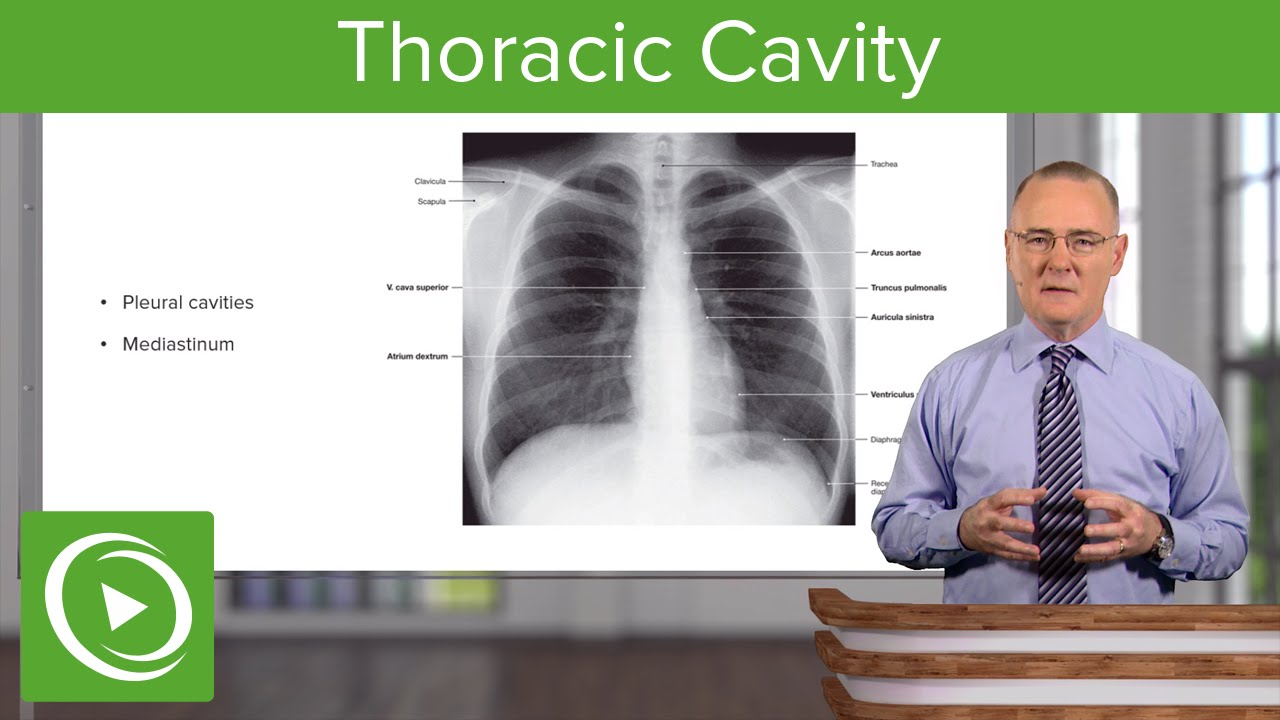 Thoracic Cavity – Anatomy | Lecturio