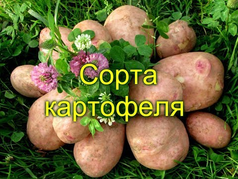 СОРТА КАРТОФЕЛЯ (фото)
