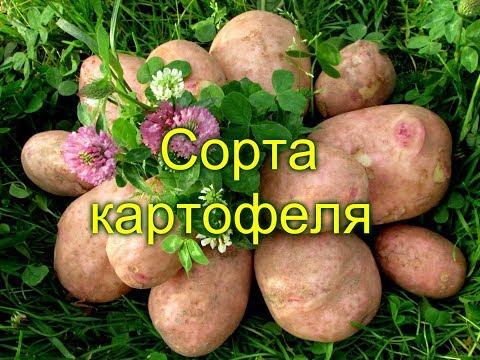 Как выглядит картофель гала фото