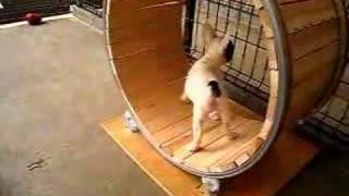 ハムスター用の回し車を犬が入る大きさで作ってみたら・・・