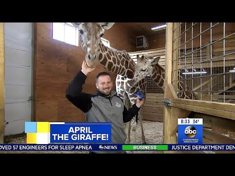 Download Youtube: Looks Like April The Giraffe Is Pregnant Again? (GMA)