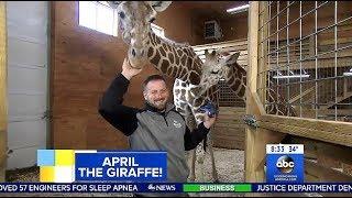 connectYoutube - Looks Like April The Giraffe Is Pregnant Again? (GMA)