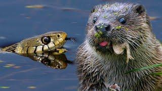 Выдра ловит змею в то время, как уж ловит лягушку | Film Studio Aves