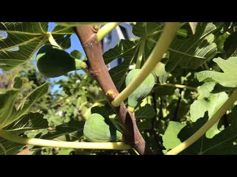 french fig farm: Young Coll de Dama Negra