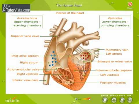 The human heart youtube the human heart ccuart Gallery