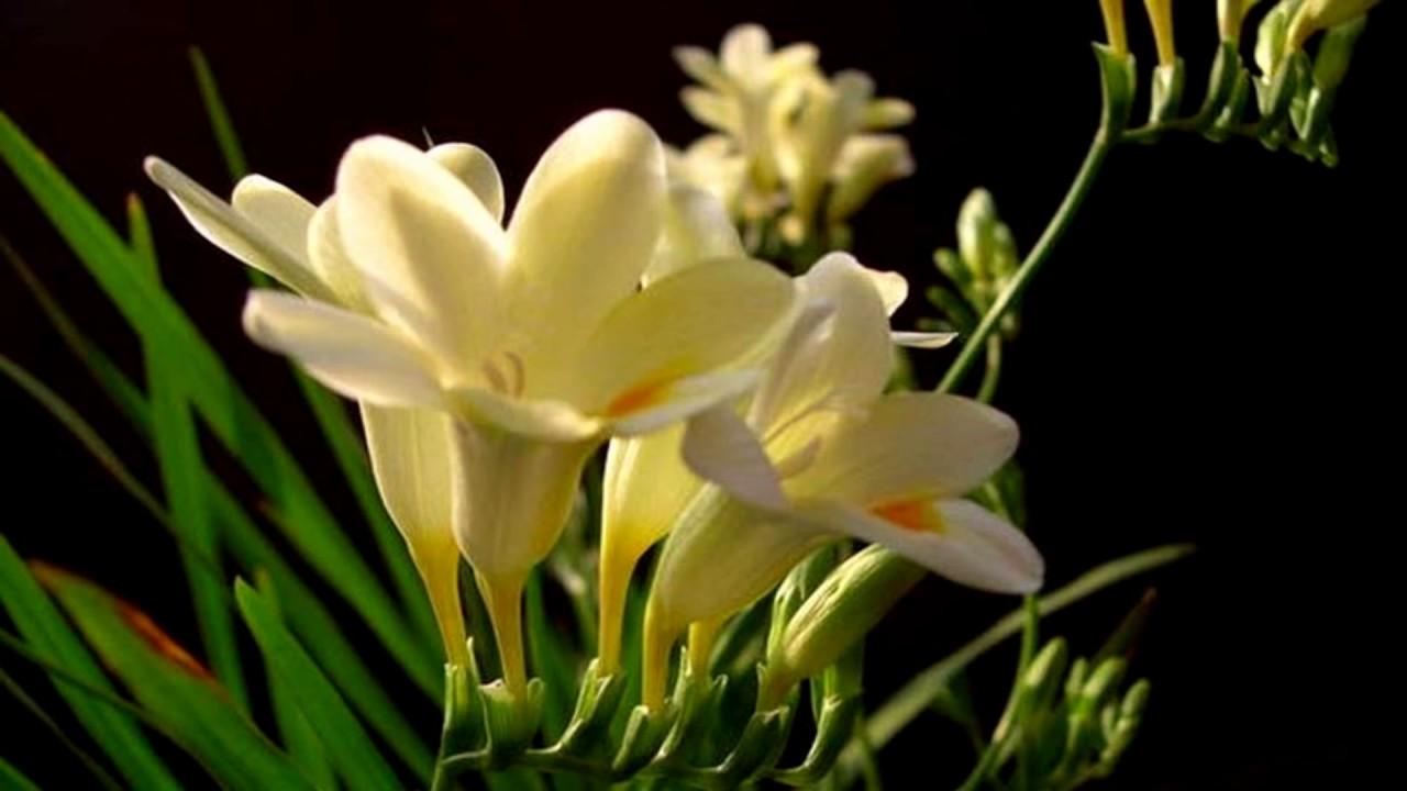 Freesia Flower Hd1080p Youtube