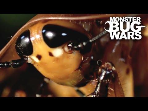Mexican Red Rump Tarantula vs  Giant Cockroach | MONSTER BUG WARS