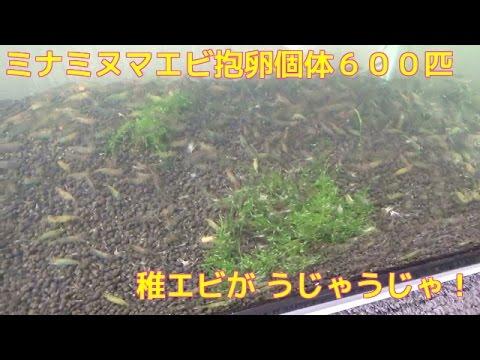②ミナミヌマエビメスの抱卵個体600匹稚エビがうじゃうじゃ爆殖あかちゃんザリガニ 産卵シュリンプ