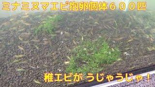 前回の動画から2週間で稚エビが5000匹ぐらい生まれています。メス...