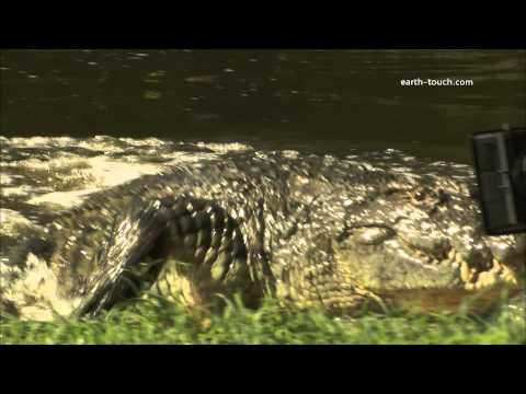 Crocodile attacks man | Crazy Cameramen Episode 3