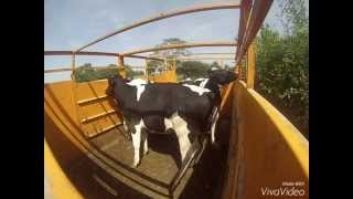 Déplacement d'un lot de vaches 2015 [GoPro]