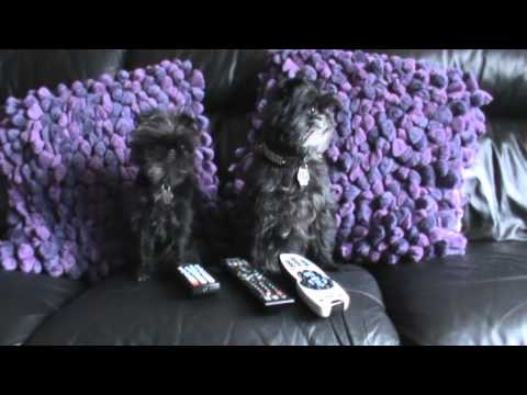 Funny Monkey Dog Outtakes from two gifted & talented Affenpinschers