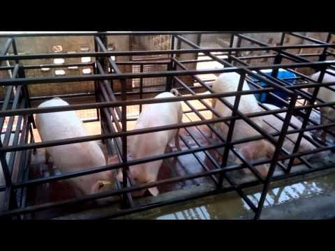 pig farm near delhi