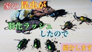 【カブトムシ、クワガタムシ】家の大量の昆虫達が羽化したので紹介します