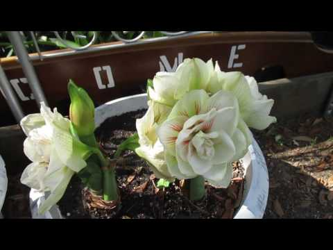 Amaryllis Hippeastrum Nymph and Aphrodite