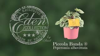 Peperomia albovittata - Piccola Banda