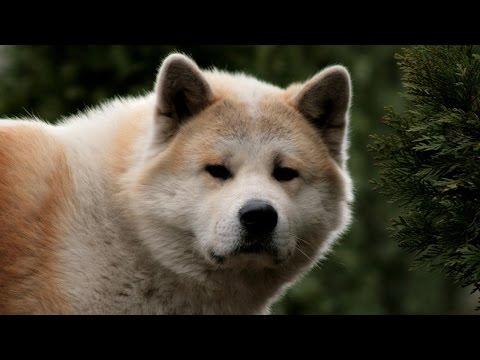 Akita Dog Breed