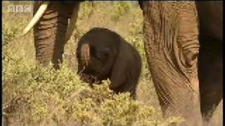 One day old baby elephant - BBC Animals