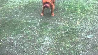 Dogue De Bordeaux London