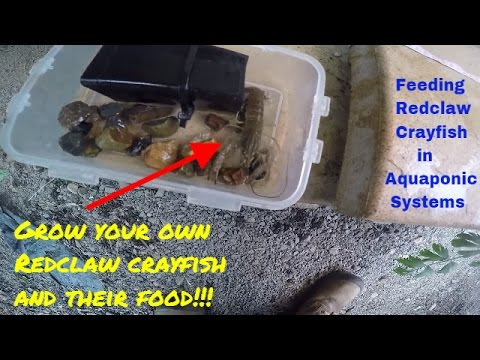 Feeding Redclaw Crayfish Home Grown Food In Aquaponics: Part 1