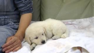 2013年3月19日生まれのゴールデンレトリバーの子犬です。 http://wanboh...
