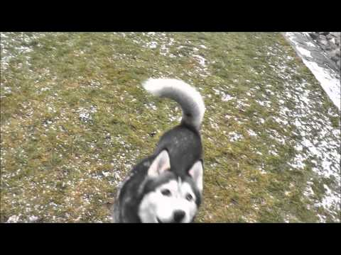 Cute Siberian Husky is jumping In Slow Motion (Smile!)