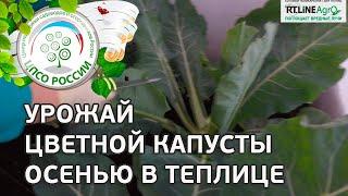 видео Цветная капуста: выращивание, уход, сбор урожая